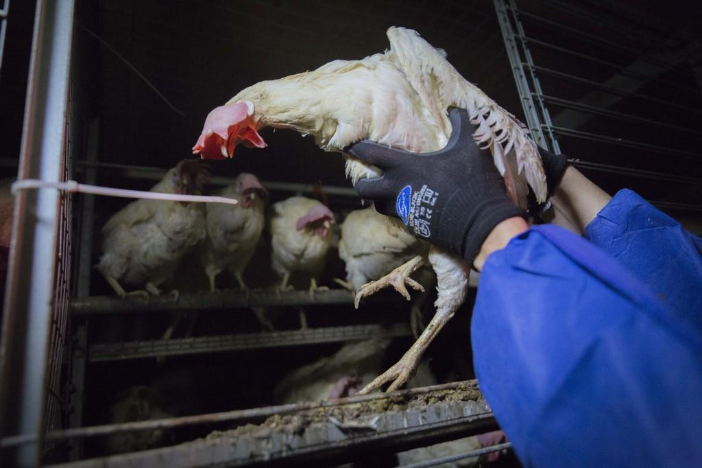 Rettet das Huhn e.V. Bild 1