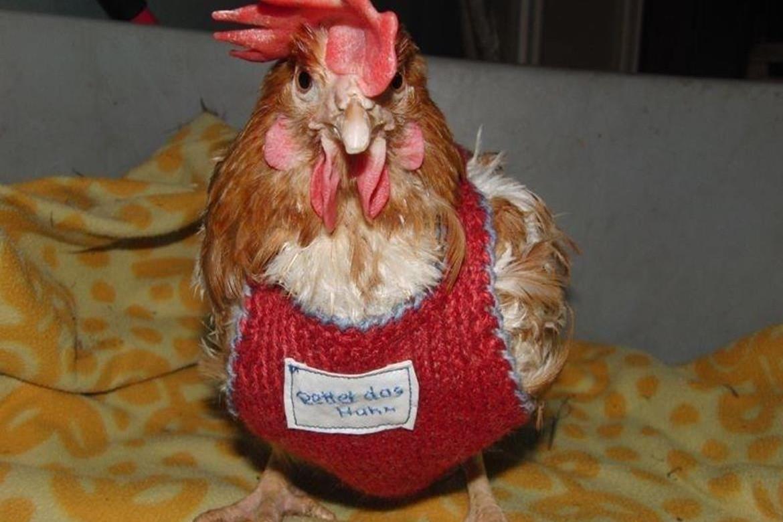 """Rettet das Huhn e.V. – Vermittlung """"ausgedienter"""" Legehennen"""